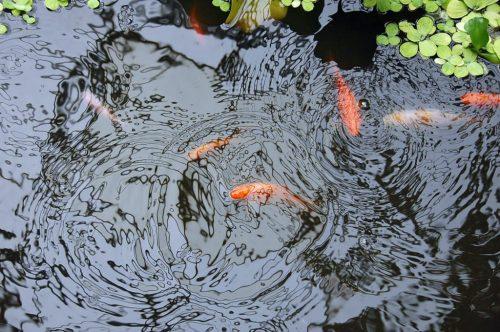 Fishpond-reflection